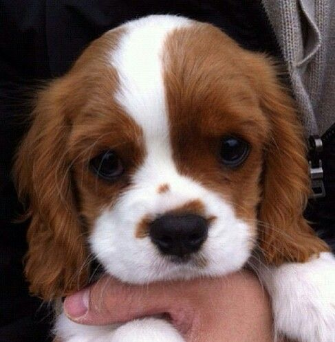 Pin By Amanda Hooper On Dawg Pound King Charles Puppy Spaniel