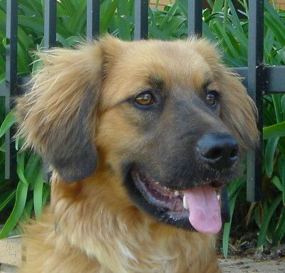 German Shepherd Golden Retriever Mix I Will Have This Dog One Day