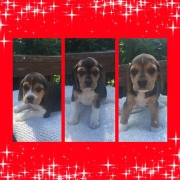Beagle Puppy For Sale In Elkridge Md Adn 35793 On Puppyfinder