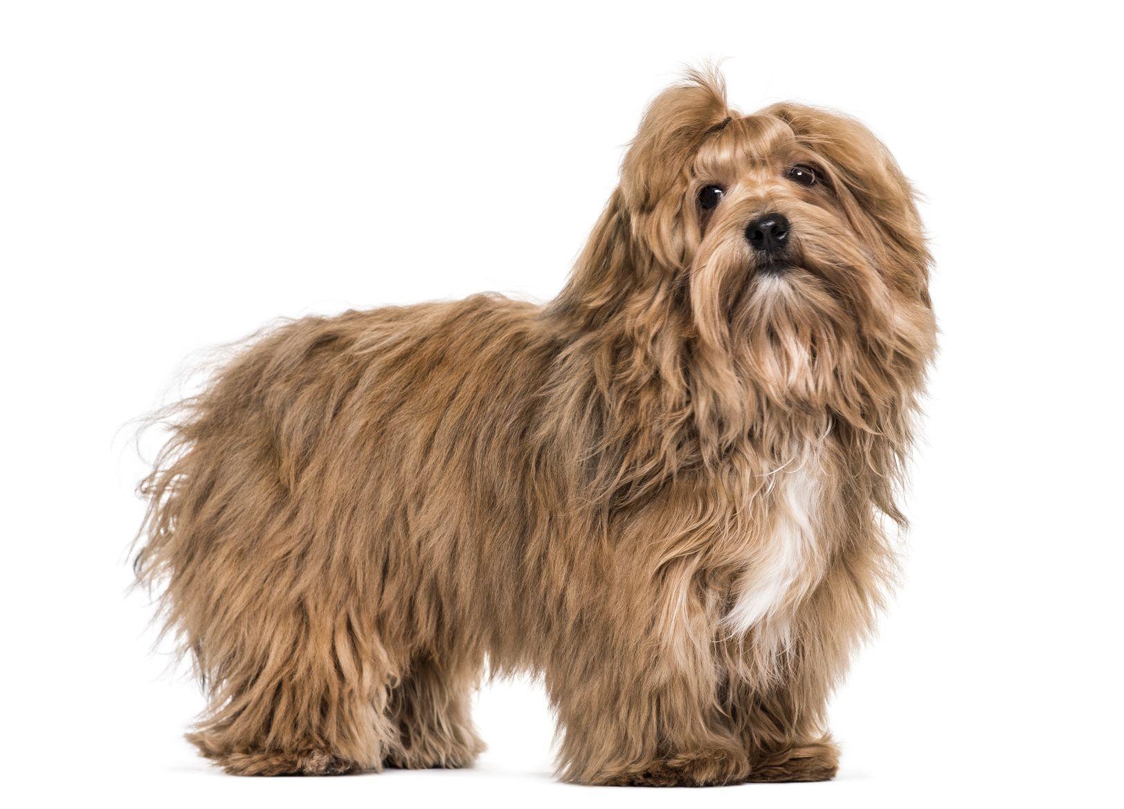 Havaneser Havaneser Havaneser Charakter Und Kleine Hunde