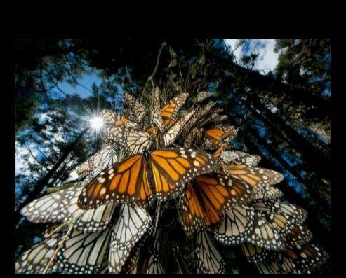 Creo que se llaman mariposas monarcas. Algo asi.
