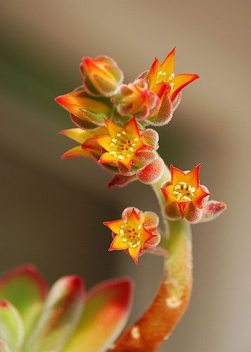 Echeveria pulvinata...mine are flowering right now.  Beautiful!