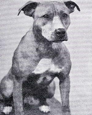 vintagebulldogs | Pitbull terrier, Nanny dog, Vintage dog  |American Pit Bull Terrier Vintage
