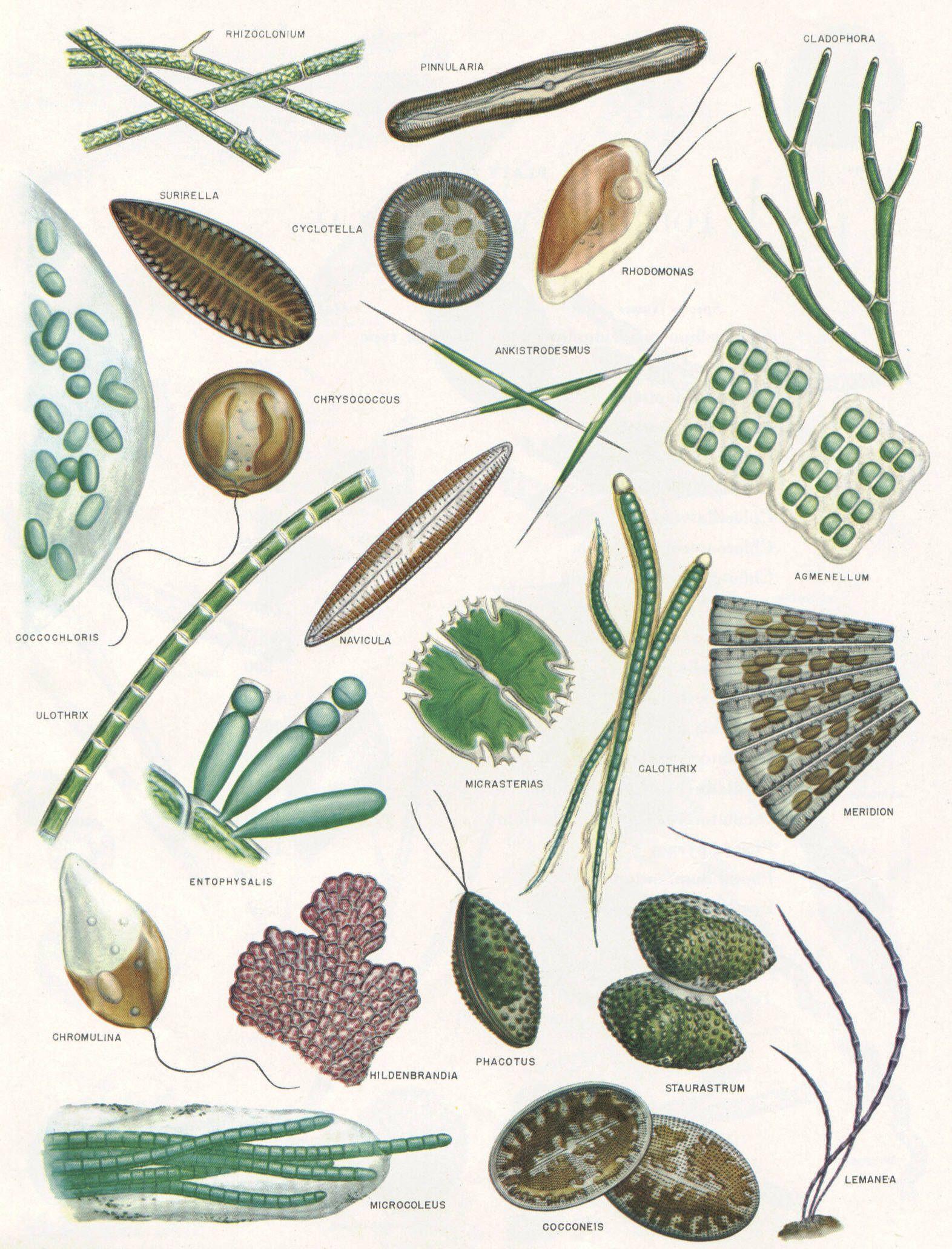 Aquatic Management Llc Biology Plants Microscopic Photography Scientific Illustration [ 2062 x 1572 Pixel ]