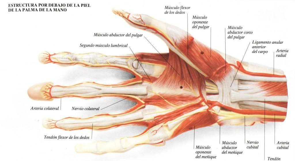 Hermosa Músculos Del Pulgar Anatomía Foto - Anatomía de Las ...