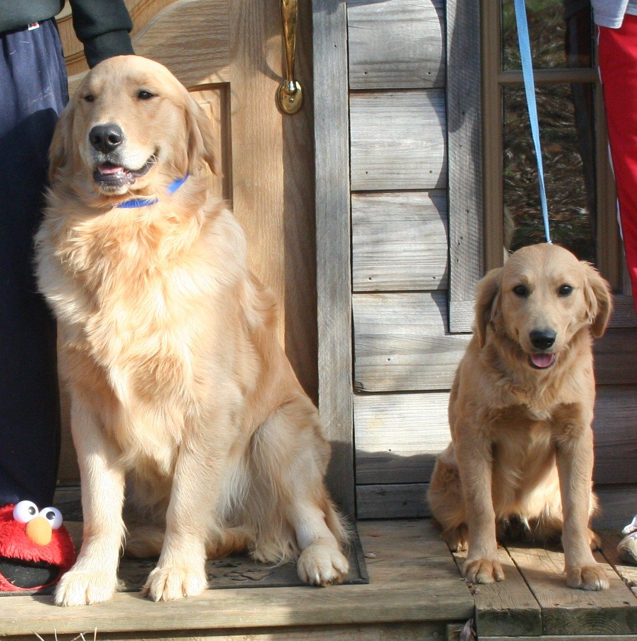 Miniature Yellow Lab Vs Yellow Lab Google Search Golden