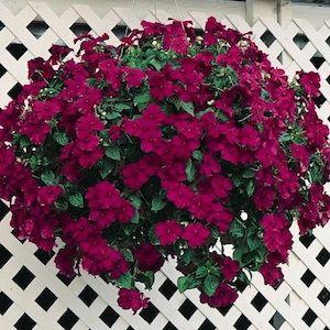 Impatiens Seeds For Sale 67 Varieties Annual Flower Seeds Impatiens Flowers Annual Flowers Flower Pots Outdoor