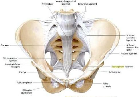 Pelvis Anatomy Diagram Ligaments - Wiring Diagram For Light Switch •