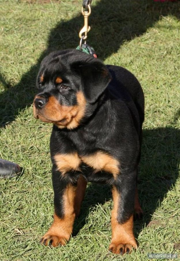 Rottweiler Puppies For Sale In India Zoe Fans Blog Rottweiler
