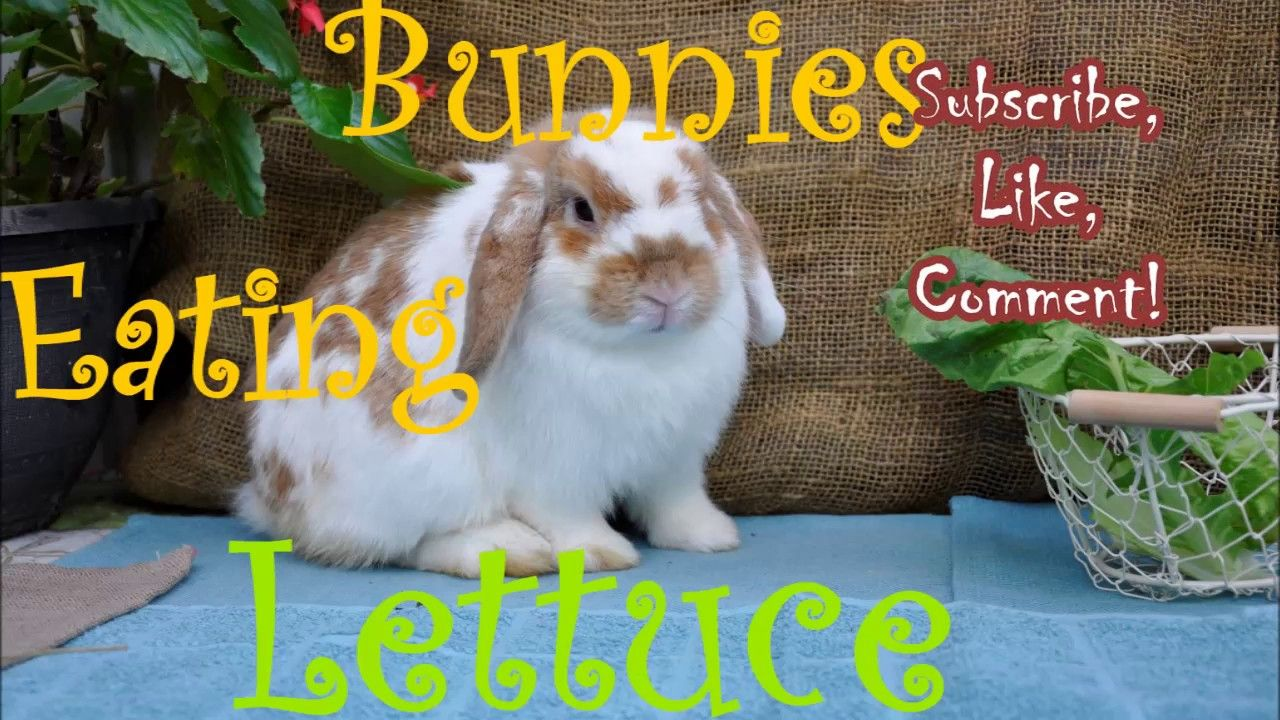 Bunnies Eating Lettuce (With images) Bunny, Netherland
