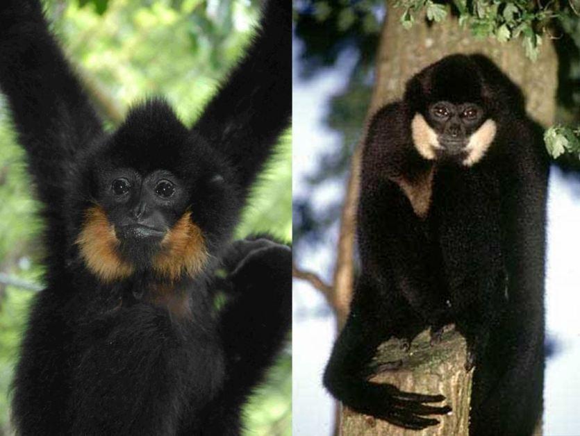 PRIMATEN IN GEVAAR | Tsjok's blog// Comparison between the northern buffed-cheeked gibbon male (left) and the yellow-cheeked gibbon male (right). Photo of the yellow-cheeked gibbon from The Gibbon Network.
