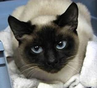 Adopt Sicily on Siamese cats, Cat adoption, Kitten adoption