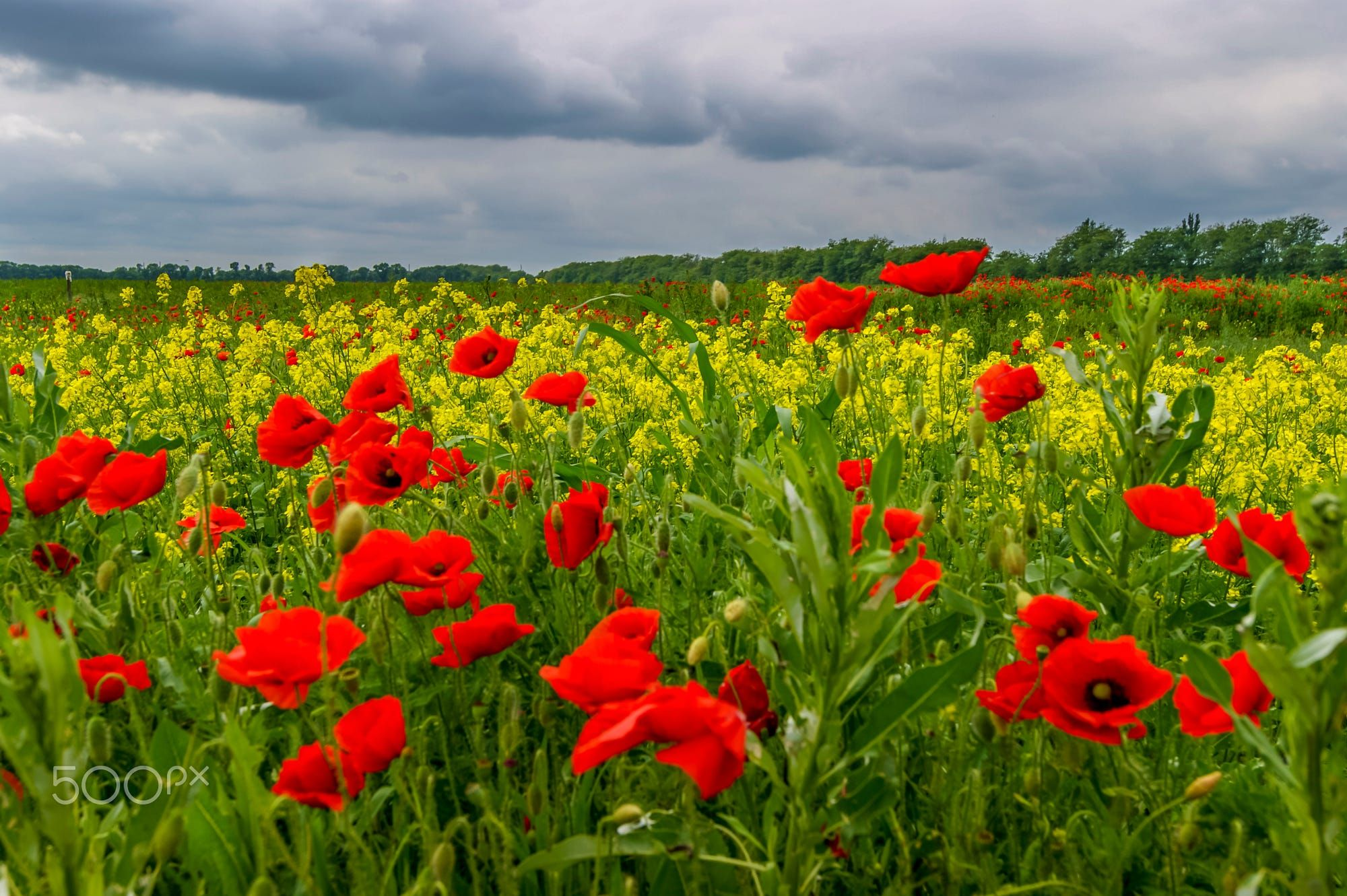 Here Reign The Flowers Are Poppies By Igor Sikorsky On 500px 0d