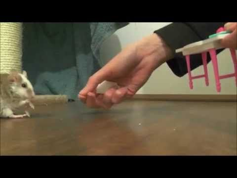 Mouse Training Secret: How To Teach A Mouse To Walk Backwards - YouTube