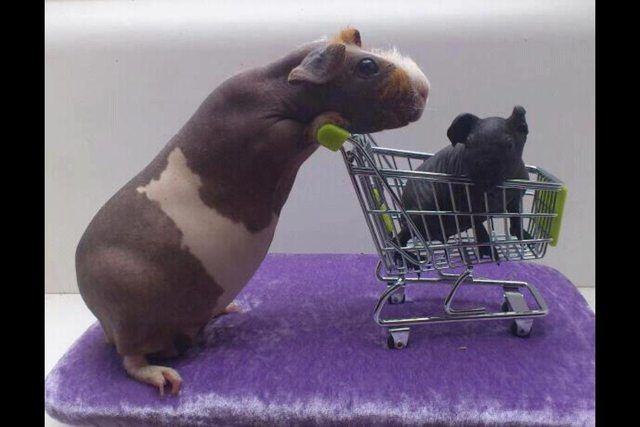 So This Appeared On My Fb Feed Warning Skinny Pigs Animales Bonitos Animales Cobayas