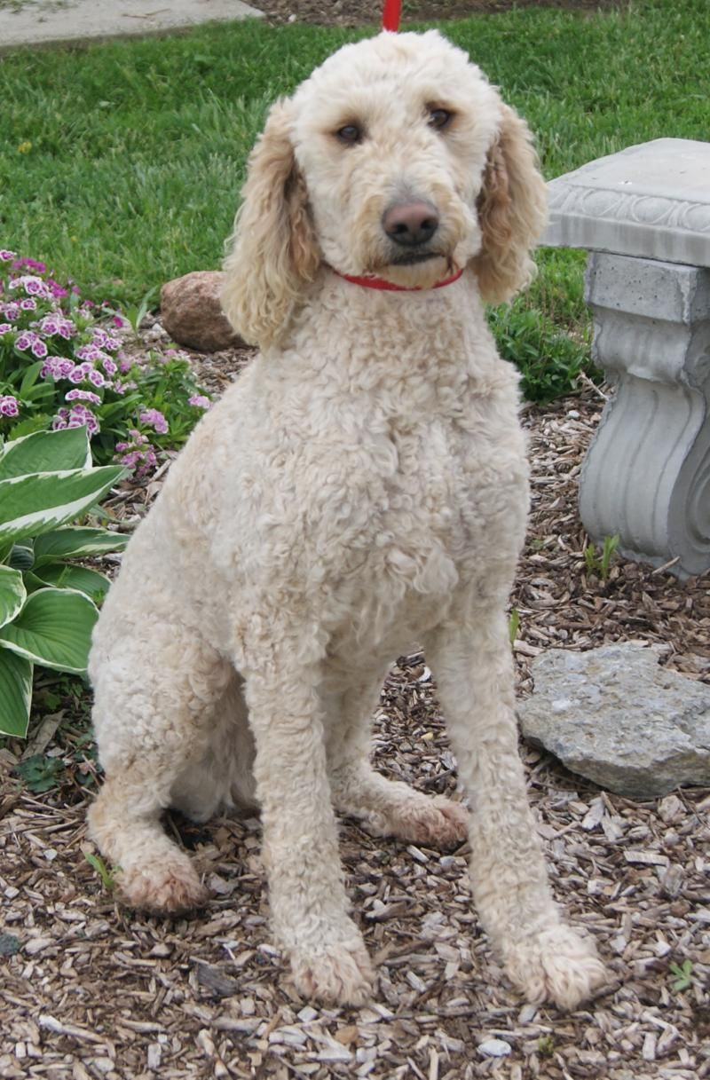 types of goldendoodle haircuts google search diy types of goldendoodle haircuts google search