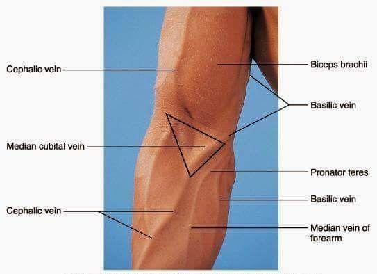 cephalic veins | blood drawn by order | pinterest, Cephalic Vein