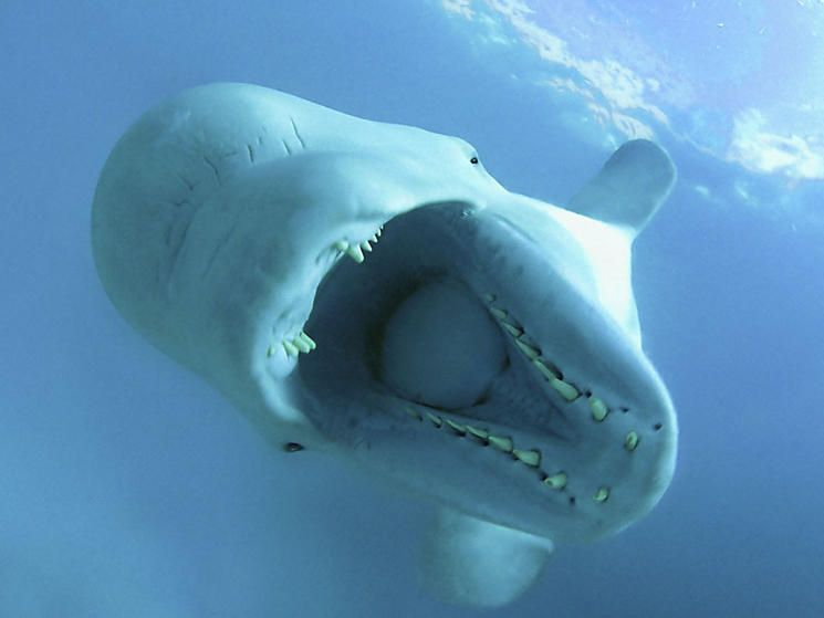 what does a beluga whale mean in a dream