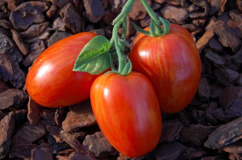 Tomat Plum Tigris