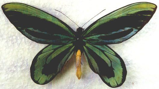 ZEUNERA ALEXANDRAE - male (wingspan: 165 mm, forewing length: 90 mm) (loc.: Popondetta, Morobe Province, 28-JAN-1971)  (coll. and photo: © Ian Davies, Barongarook, Victoria, Australia)