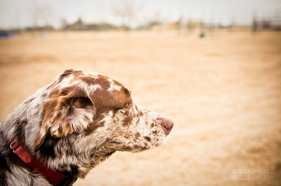 Pet Photography, Catahoula Leopard Dog