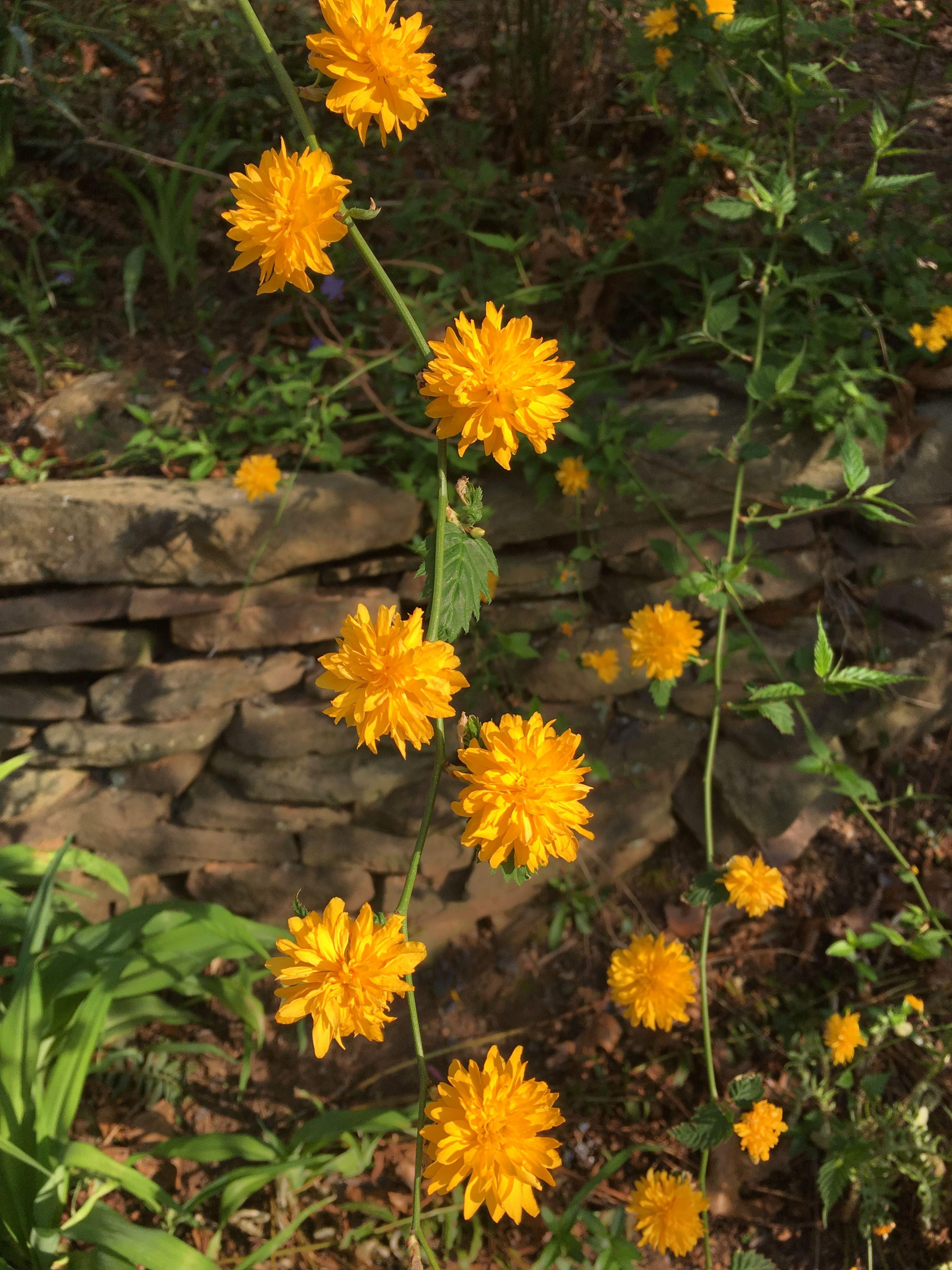 Kerria Japonica Pleniflora | Herbarij - Lesnate rastline | Pinterest ...