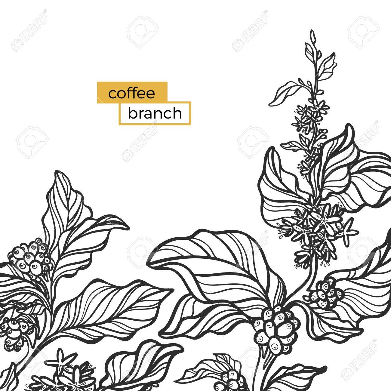 Template Of Black Branch Of Coffee Tree With Leaves And Natural Coffee Beans Organic Product Silhouette Shape Botanical Illustration Vector Illust Krijtbord