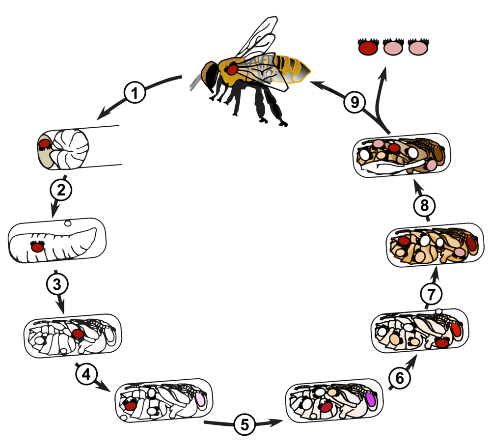 Freshwater fish life cycle - This Is A Drawing Of The Life Cycle Of The Varroa Mite