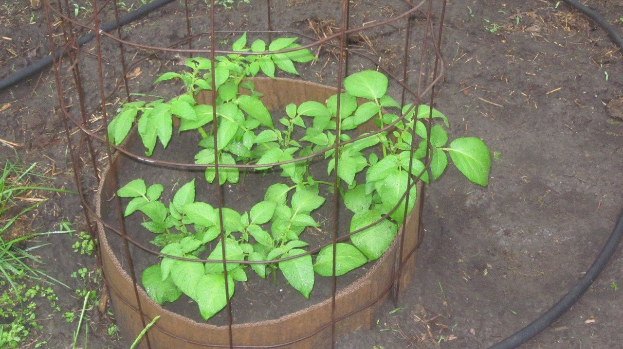 How to grow potatoes in a towerand why you should do it