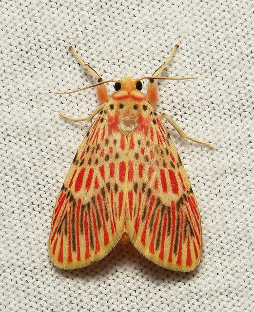 Footman Moth (Barsine Orientalis, Lithosiini, Arctiinae