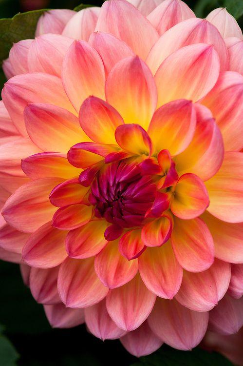 Dahlia Erna Panzer Alan Buckingham Dahlia Flower Flower Pots Pretty Flowers