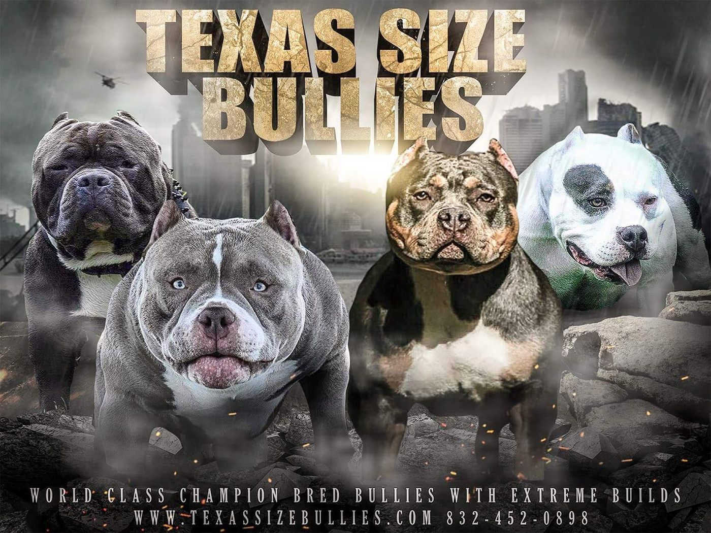 Texas Size Bullies Website Champion American Bully Breeder Extreme Build Pocket Bully S American Bully Pocket Bully Bullying