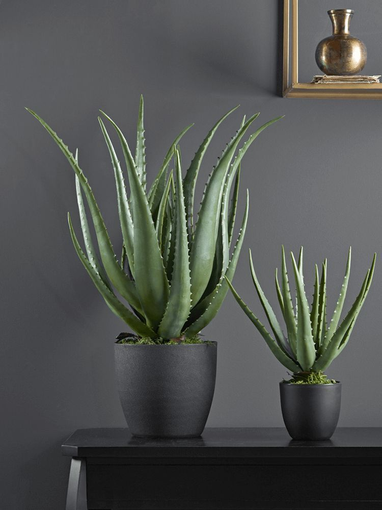 How To Take Care Of Aloe Vera How To Care For An Aleo Plant Succulents Network In 2020 Potted Aloe Vera Plants House Plants Decor