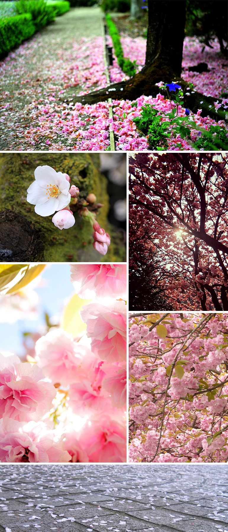 Cherry Blossom Trees! Sakuras!!!!