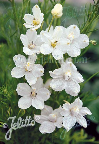 Jelitto Perennial Seed Delphinium Grandiflorum F Compactum