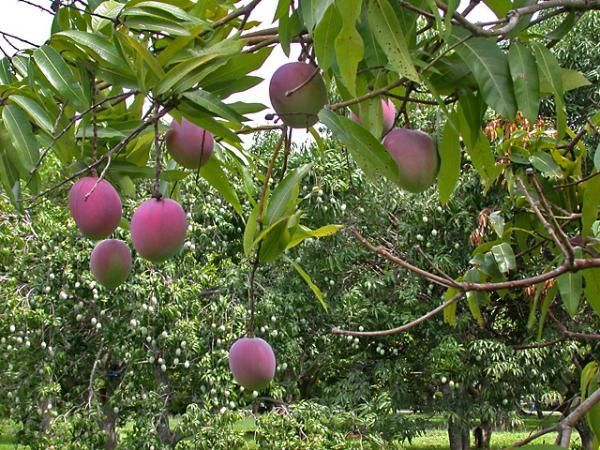 Tropical Fruit Trees That Grow Best in SW Florida.