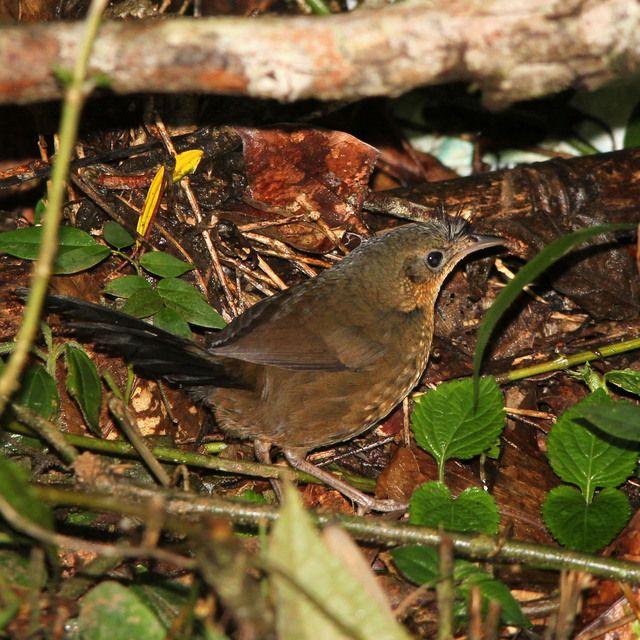 Foto entufado (Merulaxis ater) por Henrique Langenegger   Wiki Aves - A Enciclopédia das Aves do Brasil
