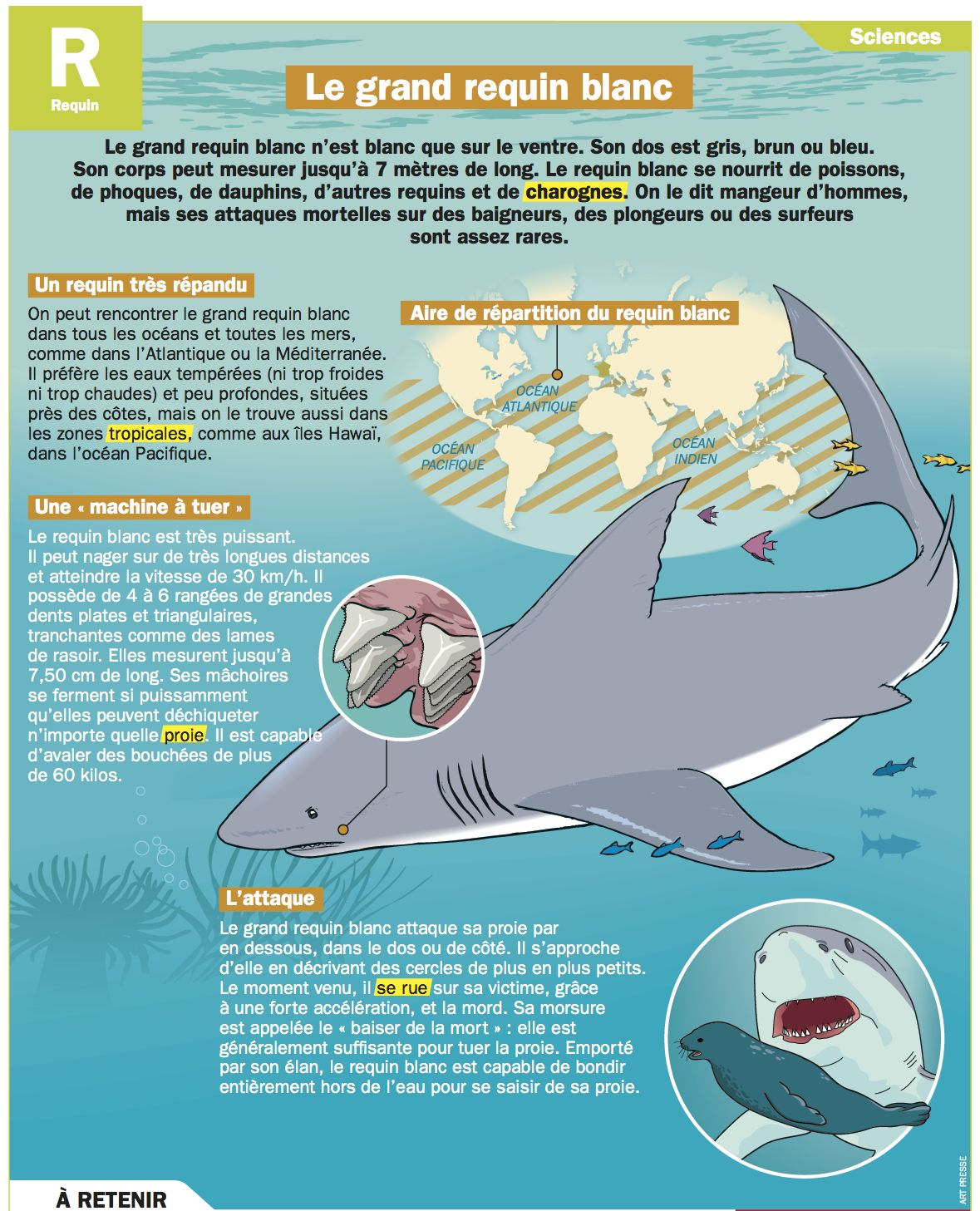 Le grand requin blanc mon quotidien pinterest grand requin blanc requins et la grande - Dessin de grand requin blanc ...