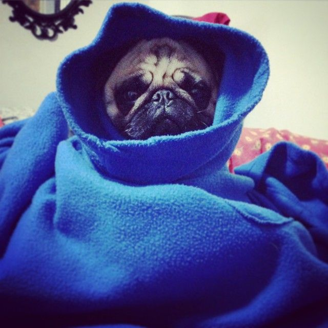 Atlasthepug What Do You Call A Pug In A Snuggie Pugs Puppy