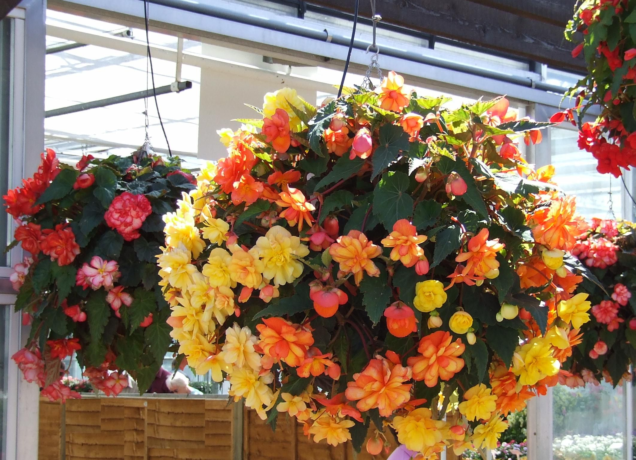 Growing Hanging Flower Baskets : Easy to grow hanging indoor flowers begonias are so