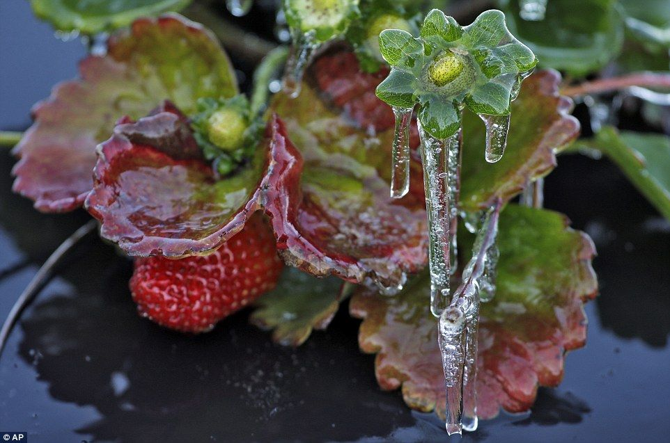 Seven Killed By Siberian Express Frigid Temperatures Frozen Strawberry Plants Wintry Weather