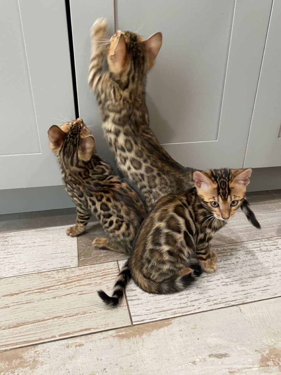 Clouded Bengals For sale Los Angeles in 2020 Savannah