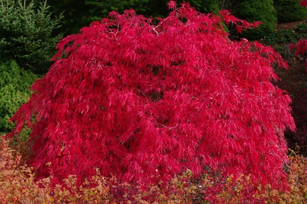 Scarlet princess dwarf japanese maple a new for Small japanese tree