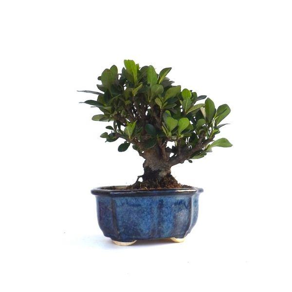 acheter en ligne ce bonsai tr s rare shohin gardenia jasminoide de 15 cm 140302 chez sankaly. Black Bedroom Furniture Sets. Home Design Ideas