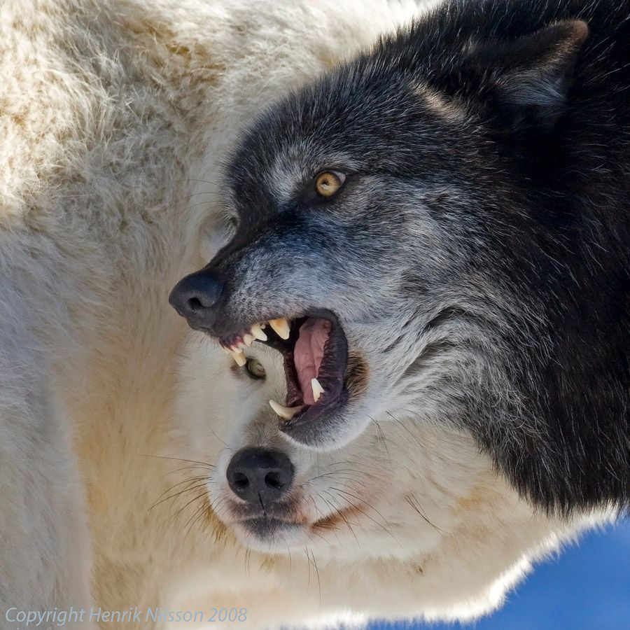White Wolf Creating a Legacy on Endangered Species Day