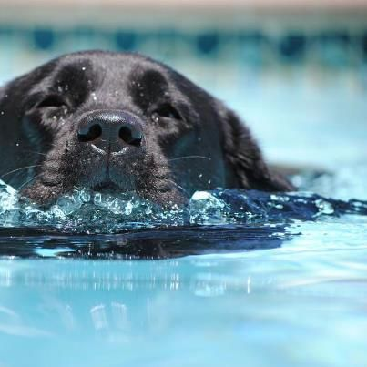 This is one of the most beautiful pictures I have seen of a black lab.  It could be Belle's sweet face enjoying a swim.  It comes from Life is Labs on Facebook.