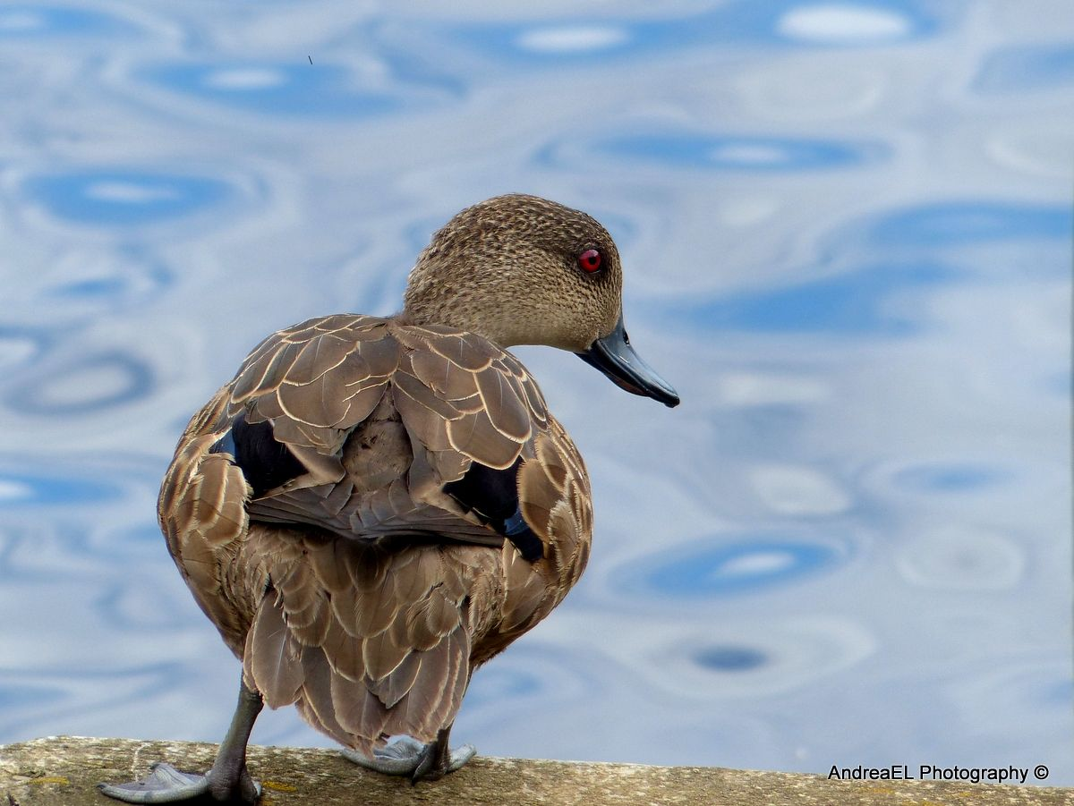 Grey Teal Duck Lignite Pit Stop Southland NZ AndreaEL