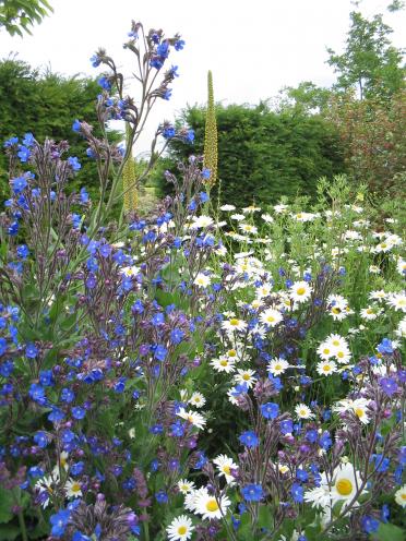 De Tuinen van Appeltern - Plantenencyclopedie - Anchusa azurea 'Dropmore' - Ossetong