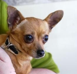 Jack Is An Adoptable Chihuahua Dog In Toronto On Jack Is Located