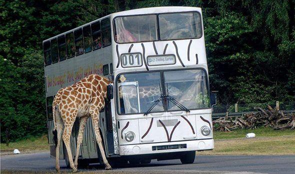 Jirafa con el cuello dentro de un autobus